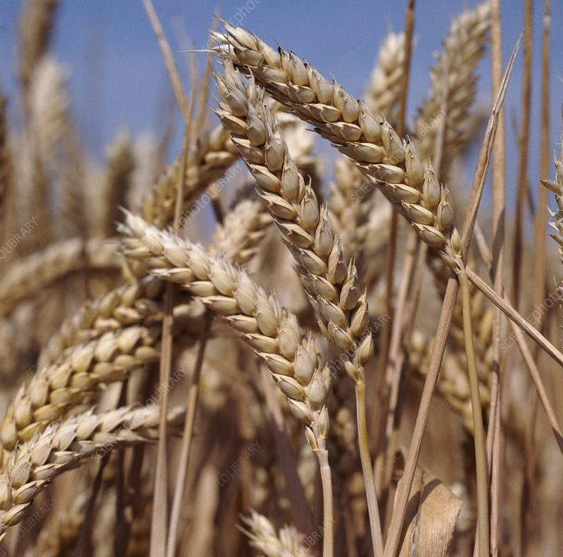 Ripe wheat ears against blue sky