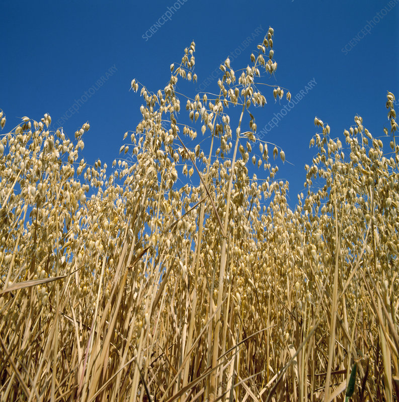 Ripe oats crop (Avena sativa)