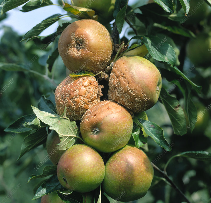Brown rot on apple fruit