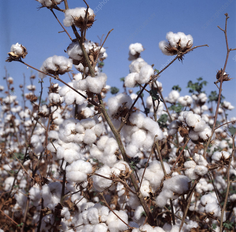 Ripe cotton crop