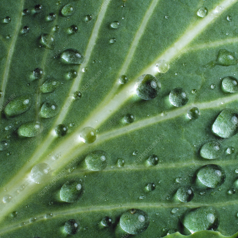 Water droplets on a cabbage leaf