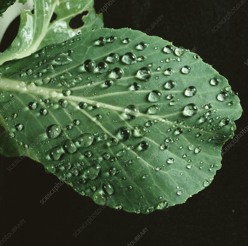 Rain water droplets on a cabbage leaf