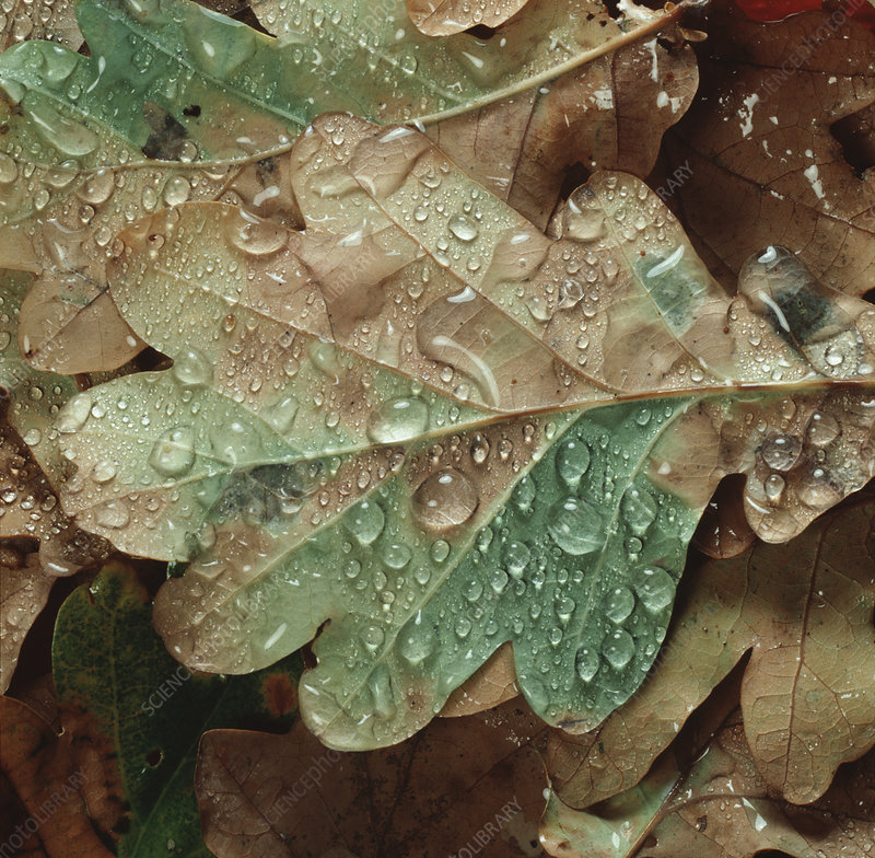 Rain water droplets on fallen oak leaf