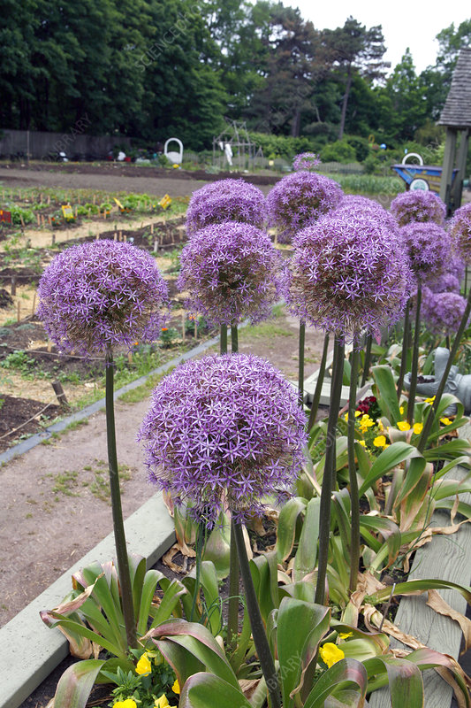 Blooming Allium