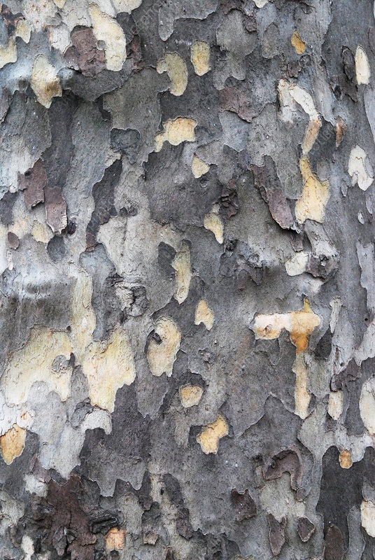 London Planetree Bark