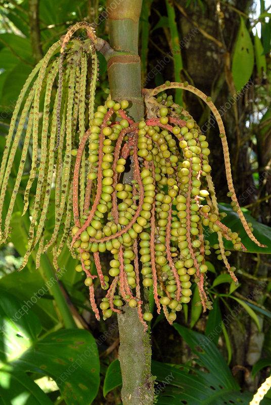 Tropical Palm Fruit