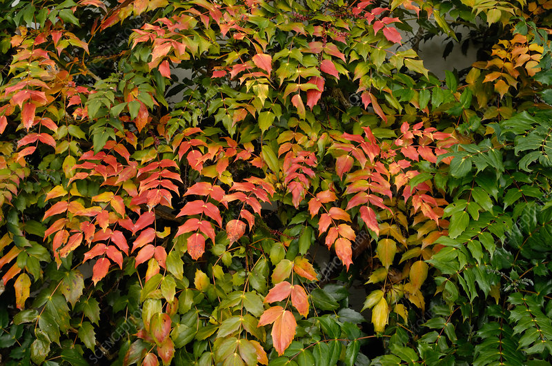 Dying Leaves on Mahonia
