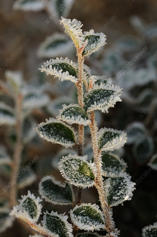 Hoar frost on Cotoneaster