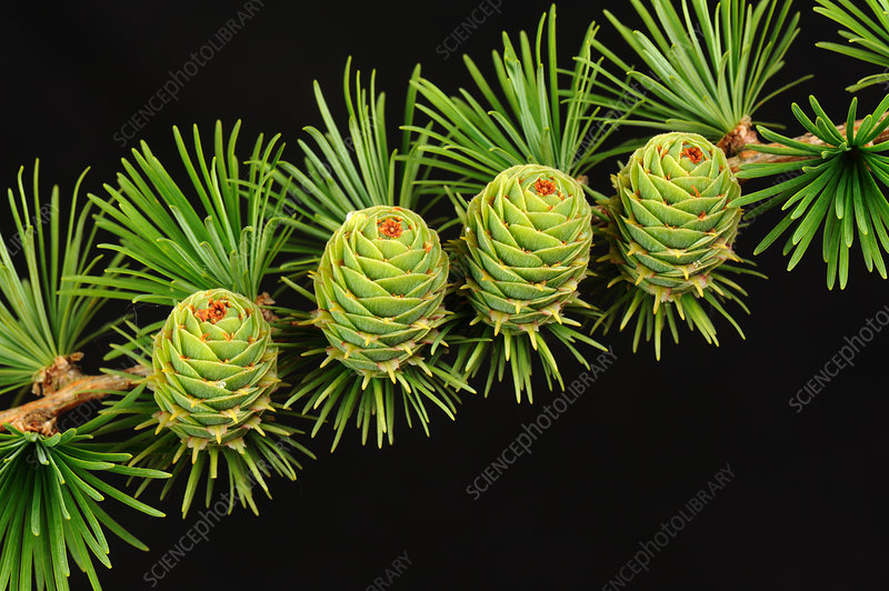 Young cones on larch