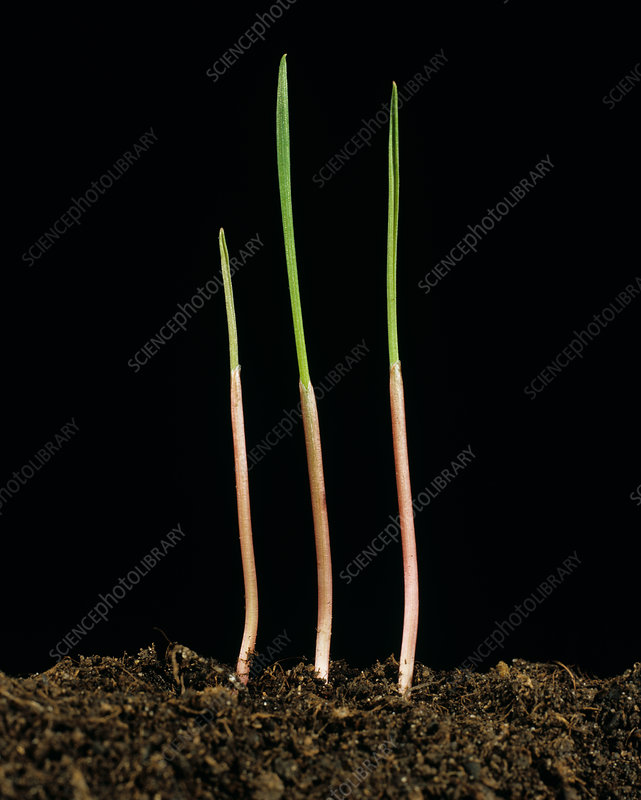 Canary Grass Seedlings