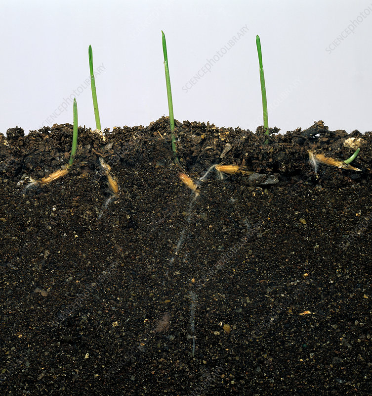 Wild Oat Seedlings