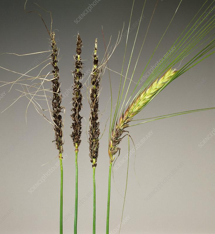Loose Smut on Barley