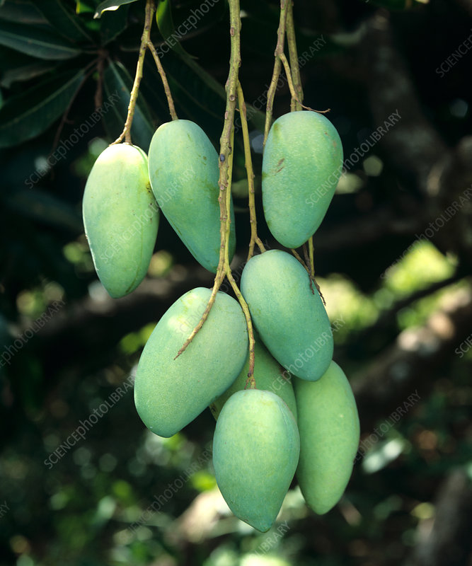 Mangoes on Tree