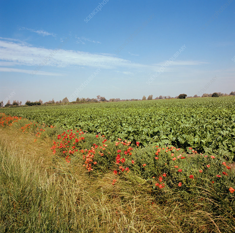 Sugar Beet field with Corn Poppies