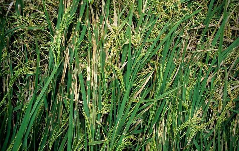 Rice sheath blight