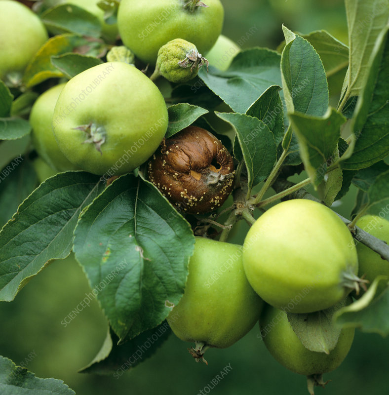 Brown rot on Apple