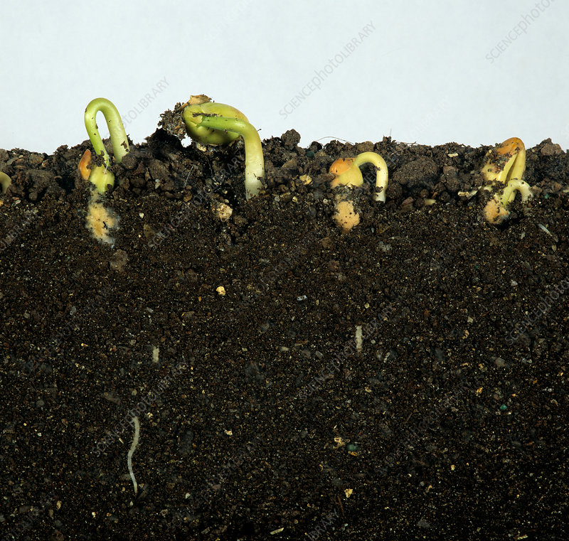 French bean seeds germinating