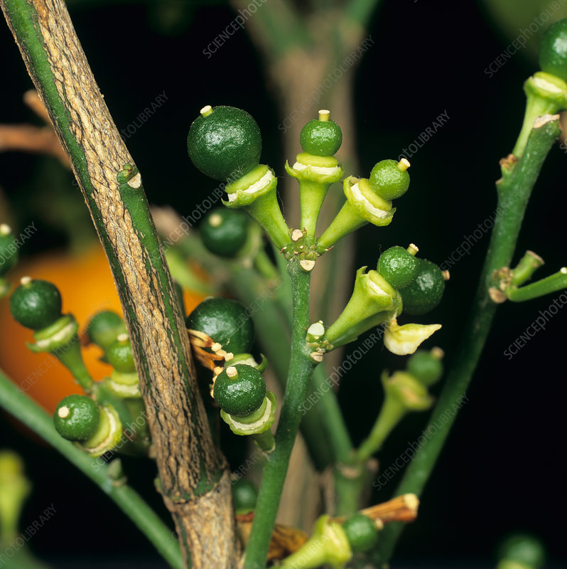 Fruitlets on Calamondin Orange