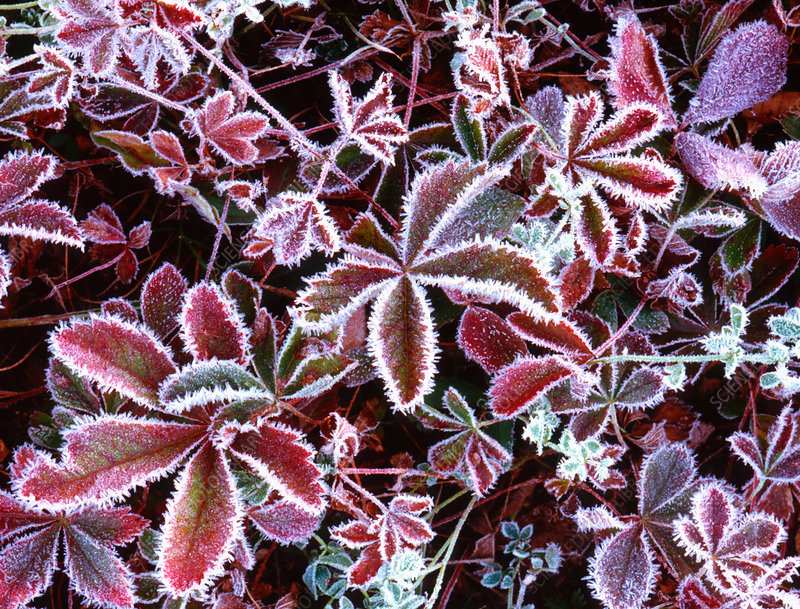 Frosted berry bushes