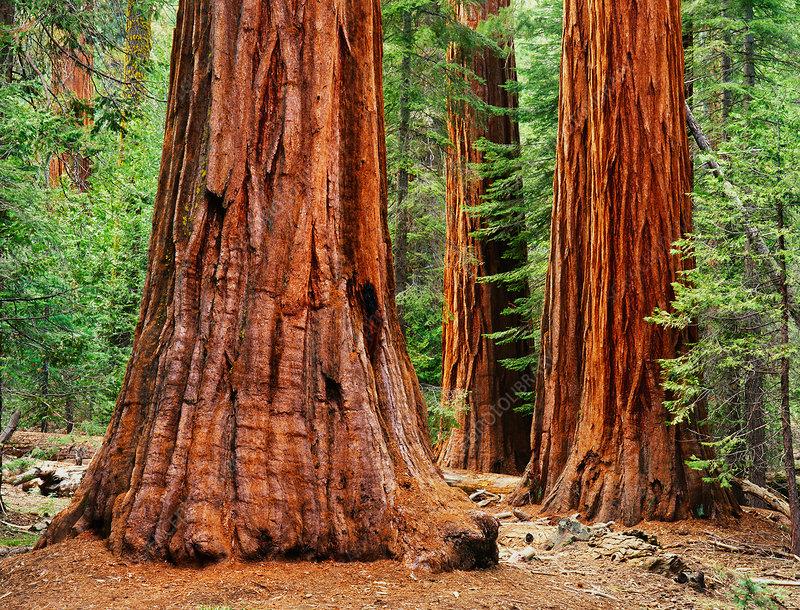 Sequoia trees, Yosemite NP