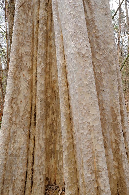 Lagerstroemia Calyculata tree