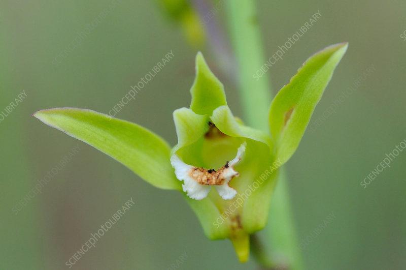 Eulophia Orchid Flower