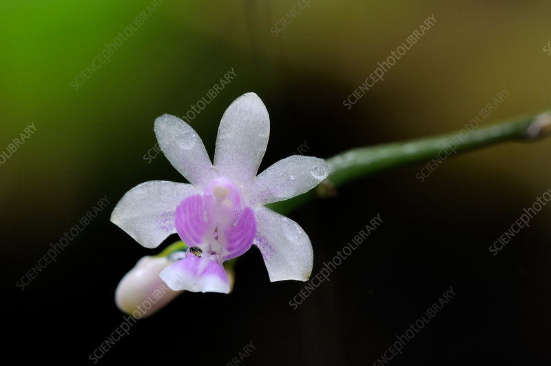 Wild Phalaenopsis Orchid