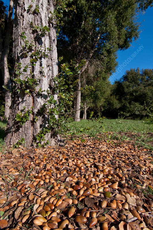 Coast Live Oak Acorns