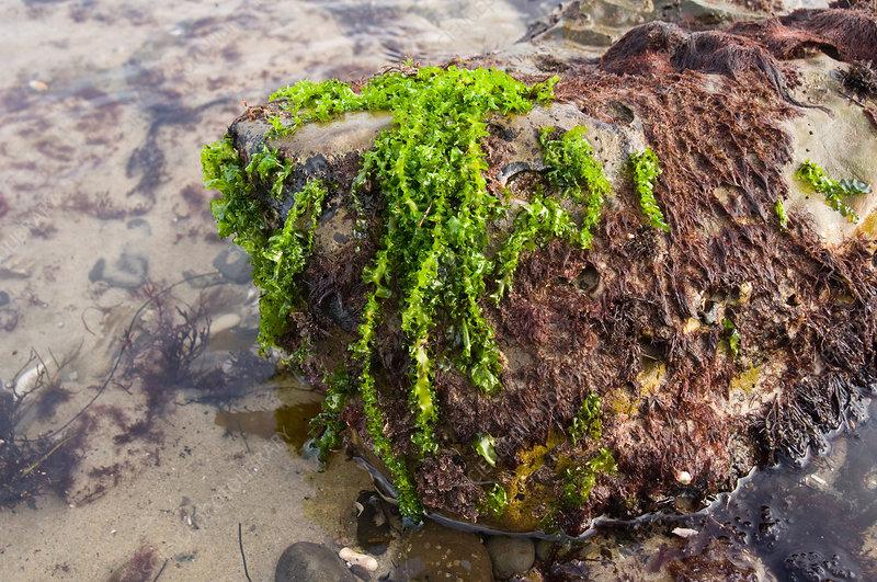 Corkscrew Sea Lettuce