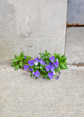 Pansies growing out of concrete