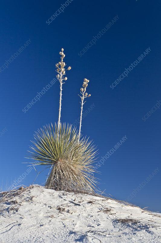 Soaptree yucca plants