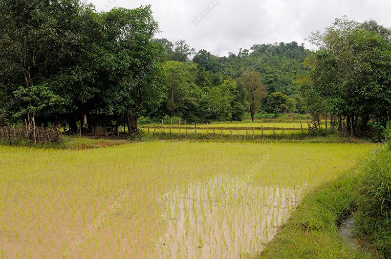 Laotian Rice Paddy