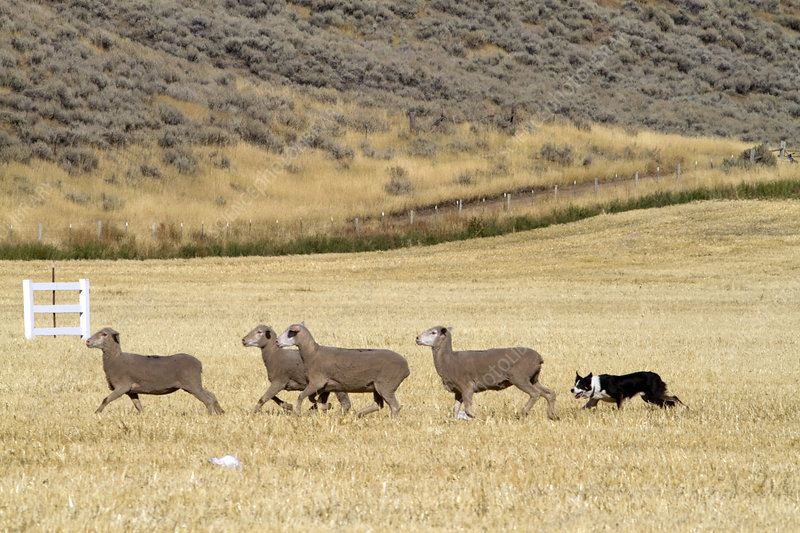 Sheep Herding, Idaho