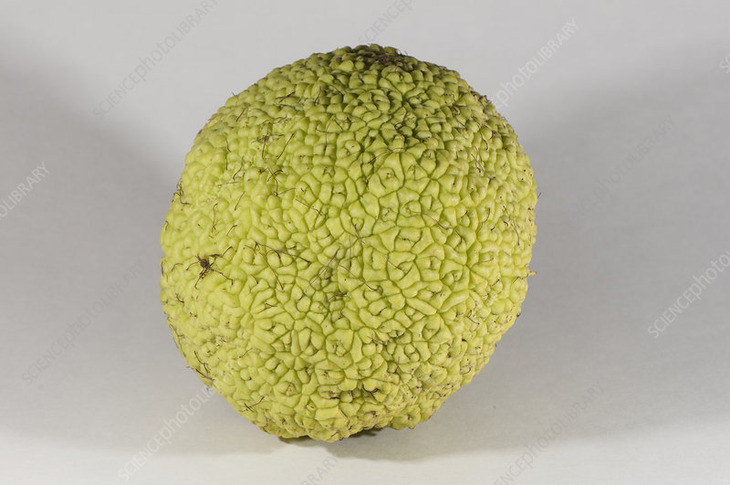 Fruit of Osage-orange