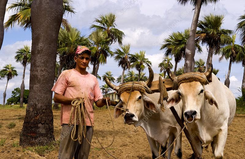 Farmer and Oxen, Cuba