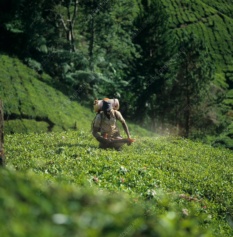 Worker Spraying Tea Plants