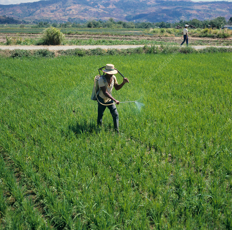 Filipino spraying Rice Crop