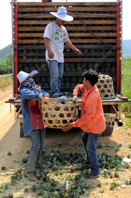 Loading harvested pineapples