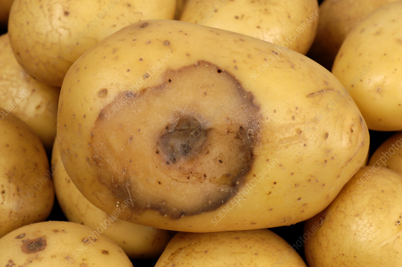 Bacterial soft rot on Potato