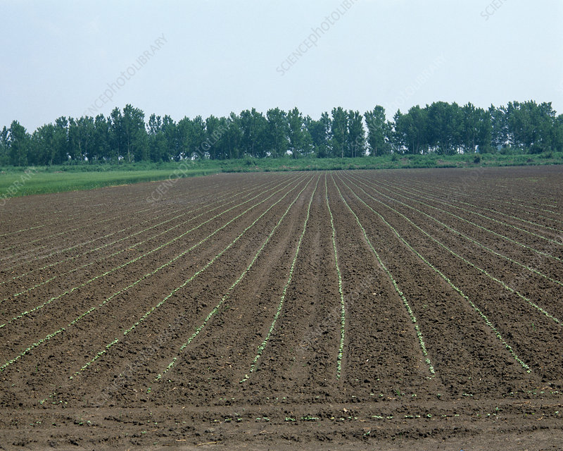Emerging seedling cotton crop