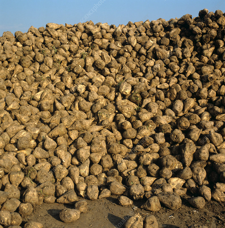Pile of harvested sugar beets