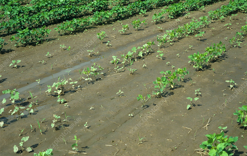 Soy Crop affected by Heavy Rain