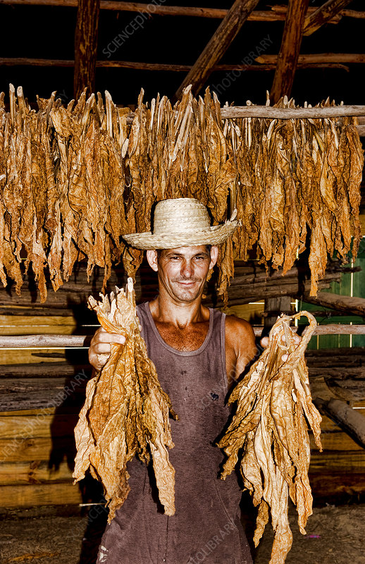 Tobacco Farmer with Dry Tobacco