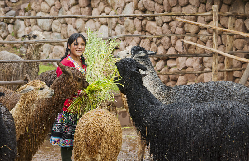 Local Woman Feeding Llamas, Peru