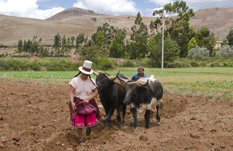 Farming Couple Working with Oxen, Peru