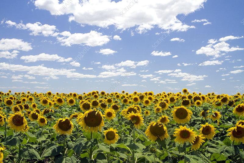 Sunflowers Grow on Farmland, Argentina