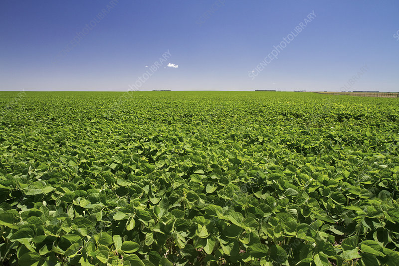 Soybean crop, Argentina