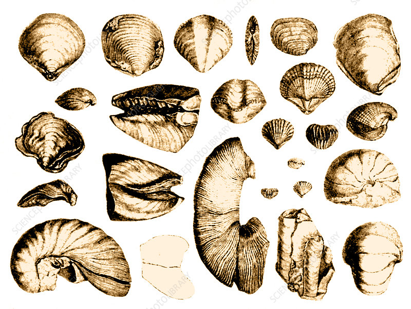 Fossilized Shells, 1844