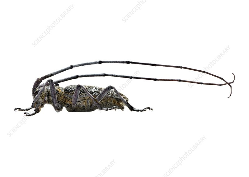 Black pine sawyer beetle