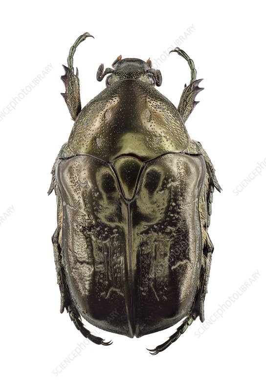 Marbled rose-chafer